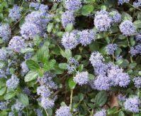 Achat Ceanothus 'repens' (Céanothe couvre-sol) Jeune Plante en godet - Vente en-ligne