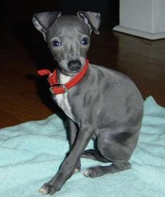 Italian Greyhound. i love the italin greyhounds because they r cute and you can get one in any color you want