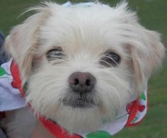Evvie is an adoptable Maltese Dog in Lake Charles, LA. If a face could launch a thousand ships…this might be the one!   Evvie came to us matted to the skin and terribly afraid. But, with just a haircu...