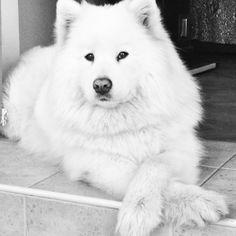 Samoyed crossy paws, like my Sadie.