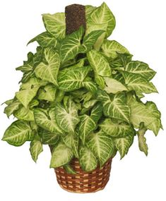 Pictures of Tropical House Plants, brought to you by Flower Shop Network and a professional florist near you. Tropical House Plants, Cactus House Plants, Green Plants, Houseplants, Peace Lily Plant, Flowers To Go, Flower Shop Network, Plant Identification, Walled Garden