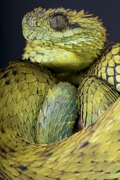Spiny bush viper (Atheris hispida) also called the rough-scaled bush viper, hairy bush viper. It is a venomous viper-species endemic to Central Africa. It is known for its extremely keeled dorsal scales that give it a bristly appearance Les Reptiles, Reptiles And Amphibians, Mammals, African Bush Viper, Beautiful Creatures, Animals Beautiful, Animals And Pets, Cute Animals, Terrarium Reptile