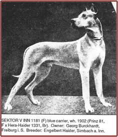 Sektor v Inn, fawn, blue carrier, perhaps maskless. Born 1902. Sektor was considered the best and most successful stud dog the dane breed had ever known, besides his sire Prinz 811.  Although his brother Meteor had taken the highest show honors, he did not have the ability to produce as well as Sektor did, proving – even back then – that in spite of completely identical bloodlines it's not always the best and most beautiful dog in the litter that's the best dog for breeding.