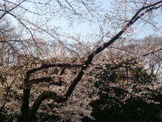春だよーカップラーメンが最高のご馳走になる@代々木公園花見