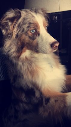 1 day I'll have a gorgeous red Merle Australian Shepherd like this beauty! Aussie Puppies, Cute Puppies, Dogs And Puppies, Corgi Puppies, Merle Australian Shepherd, Aussie Shepherd, Beautiful Dogs, Animals Beautiful, Cute Animals