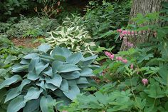 hostas, bleeding heart, japanese painted fern, ginger and columbine in this woodland garden