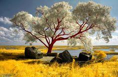 Red beach tree, photo by helios-spada - Pixdaus