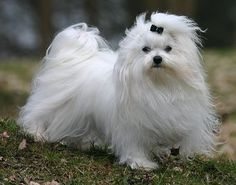 Maltese: What's Good About 'Em, What's Bad About 'Em. Temperament and personality, traits and characteristics.