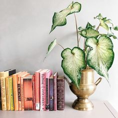 Caladium next to books in color order House Plants Decor, Plant Decor, Begonia, Potted Plants, Indoor Plants, Belle Plante, Fleurs Diy, Plant Aesthetic, Decoration Plante