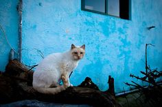 https://flic.kr/p/5LhpHf | cat on blue wall | caparica, portugal 20081221dcph_0050