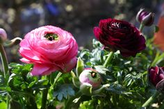 Ranunkel, Blüten in Rosa und Bordeaux, Foto Birgit Puck