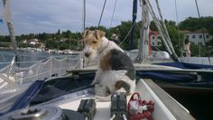 Bela fox terrier 23.07.2014. Hvar