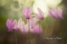 https://flic.kr/p/ytV3By | Cyclamens - Lens Jupiter 8, 50 mm f:2 | Another of my vintage lenses. This is based on the Zeiss Sonnar optical scheme.