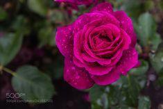 Rose 'Blackberry Nip' (Graeme Scott / Dunedin / New Zealand) #Canon EOS 60D #macro #photo #insect #nature