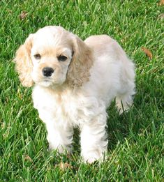 The American Cocker is one of the nine spaniel breeds which are for the most part individuals from the sporting dog group. Raza Cocker, Perro Cocker Spaniel, American Cocker Spaniel, Cocker Spaniel Breeds, Pet Dogs, Dog Cat, Doggies, Cute Puppies, Dogs And Puppies