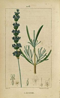 img/dessins-gravures de plantes medicinales/lavande.jpg