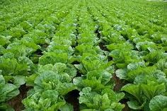 Information On How To #Plant #Lettuce #Seeds For Sale In The Ground…
