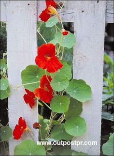 Indian cress [Tropaeolum majus] Garden