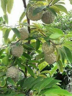 Sugar Apple 'Thai Lessard' (Annona squamosa L) Fruit Plants, Fruit Garden, Edible Garden, Fruit Trees, Trees To Plant, Apple Fruit, Fruit And Veg, Fruits And Vegetables, Fresh Fruit