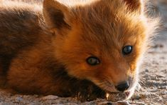 Download wallpapers small fox, cute animals, forest inhabitants, wildlife, foxes