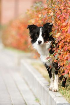 Un beau Border Collie! A beautiful Border Collie! All Dogs, I Love Dogs, Best Dogs, Cute Dogs, Dogs And Puppies, Doggies, Puppies Gif, Collie Puppies, Collie Dog
