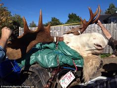 Slaughter: The hunters have apologized and are trying to make amends for killing the rare albino moose considered sacred by the indigenous Mi'kmaq people Albino Moose, White Moose, Melanism, Albinism, Animal Protection, Animal Rights, Spirit Animal, Goats, Hunting