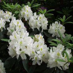 Rhododendron - Rhododendron (Caucasicum-Groupe) 'Cunningham's White' - Plantes pour terre de bruyère - Pépinières Meylan Shop