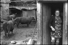 One of my absolute favourites. What a character! Olive Bennett with her Red Devon cows, Cupper's Piece by James Ravilious © Beaford Arts