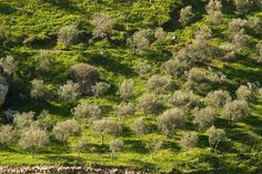 Line of trees in Wadi El Akhdar, Jordan near Amman Amman, Country Roads, Trees, River, Explore, Photography, Outdoor, Outdoors, Photograph