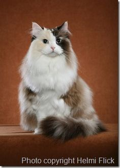 ragamuffin cat - Google Search