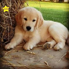 Thats cuteee!!! #Cutie #Puppy #Adorable #socutepuppies Cute Baby Animals, Animals And Pets, Funny Animals, Puppy Images, Puppy Pictures, Pictures Images, Images Of Cute Puppies, Retriever Puppy, Dogs Golden Retriever