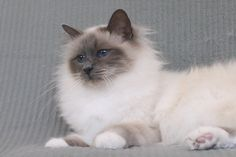blue point birman cat gallery