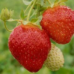 How to choose the most disease-resistant strawberries to grow in your region. | From Organic Gardening