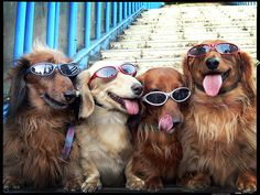 Cool dogs in shades.