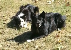 Meet 2 of my family members, Bear and Mira, my border collies. There is never a dull moment with these two.