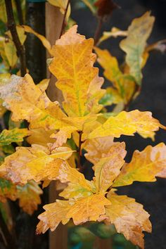 Quercus 'Regal Prince'