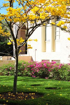Tabebuia Trees by Rollins College, via Flickr