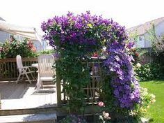 Image result for clematis jackmanii Climbers, Beautiful Gardens, Vines, Roots, Planters, Bloom, Rustic, Flowers