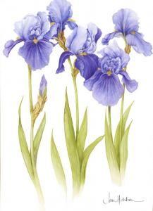 Iris chelsea 2012