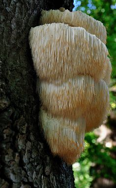 Lion's Mane Mushroom! Nature is incredible!  // Great Gardens & Ideas //