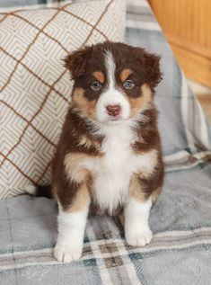 🌸💚🐶...#Loyal, #Playful & #FullofLife Lexis is super excited to meet you and she would absolutely love to enjoy some #beautifulspringdays with you. This #AustralianShepherd puppy is cute and outgoing. #Charming #PinterestPuppies #PuppiesOfPinterest #Puppy #Puppies #Pups #Pup #Funloving #Sweet #PuppyLove #Cute #Cuddly #Adorable #ForTheLoveOfADog #MansBestFriend #Animals #Dog #Pet #Pets #ChildrenFriendly #PuppyandChildren #ChildandPuppy #LancasterPuppies www.LancasterPuppies.com Animals Dog, Cute Animals, I Love Dogs, Puppy Love, Australian Shepherd Puppies, Lancaster Puppies, Family Dogs, Puppies For Sale, Mans Best Friend