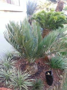 Encephalartos dolomiticus Plant Magic, Carnivorous Plants, Investment Property, New Builds, Luxury Real Estate, New Construction, Open House, Videos, Flora