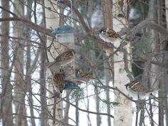 Eurasian Tree Sparrow / Pilfink / Passer montanus    Råholt, December 29th 2014