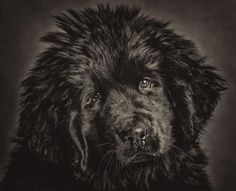 Newfoundland Pup #newf