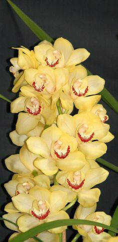 Yellow+Cymbidium+orchid