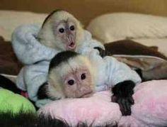 Pet capuchin monkeys