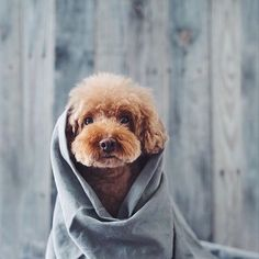 Goldendoodles are maybe the right choice of breed if you have dog allergies.