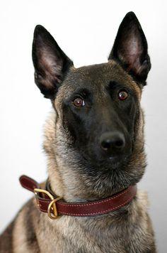 Epic Portrait by Dynamutt on DeviantArt Berger Malinois, Belgian Malinois Dog, Belgian Shepherd, German Shepherd Dogs, German Shepherds, Belgium Malinois, Schaefer, Schnauzer Dogs, Large Dog Breeds