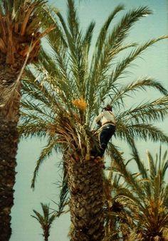 Una vez elegida la palmera que se va a ñigar, el palmerer asciende hasta la balona.