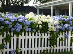 oh my gosh... how amazing would this be in my front yard? beautiful hydrangea hedge with a fence!!! put a walk in gate!!! heck yes!!!!